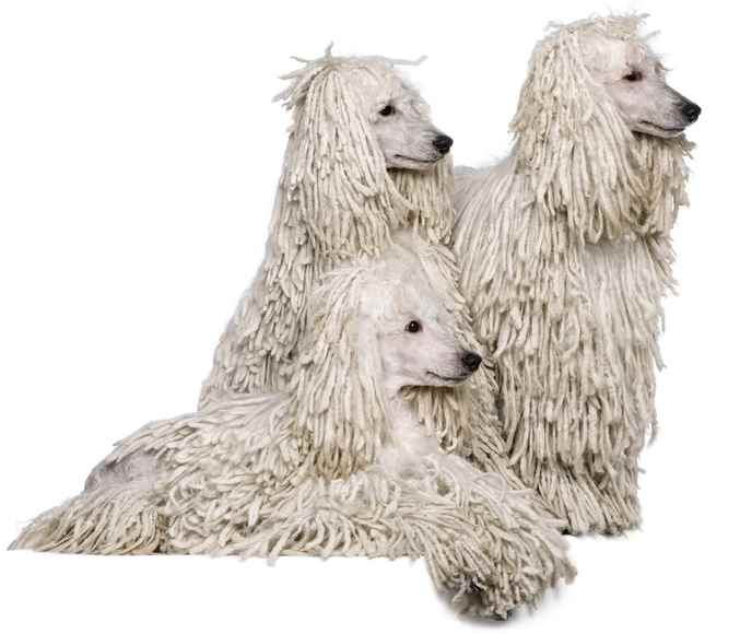 Poodle Dog Breed Profile And Review