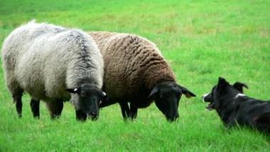 sheep-and-sheep-dog_w725_h544.jpg