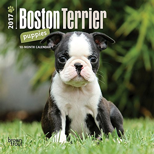 'I've Lost a Part of Me': Beloved Boston Terrier Stolen in Playa del ... - NBC Southern California