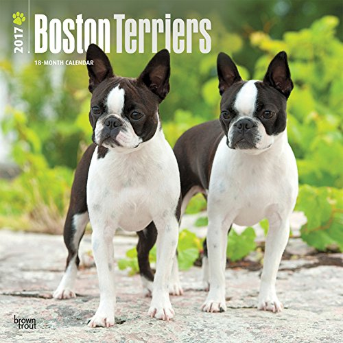 What You Need To Know About The Boston Terrier Breed Standard