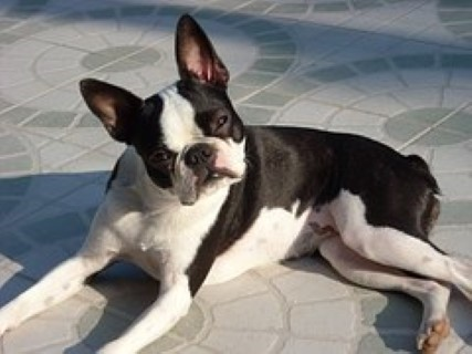 boston-terrier2030.jpg