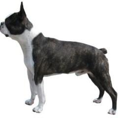 boston-terrier2047.jpg