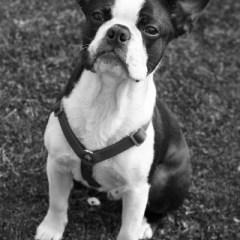 boston-terrier2059.jpg