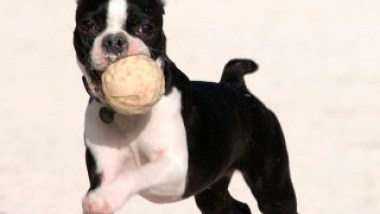 boston-terrier2062.jpg