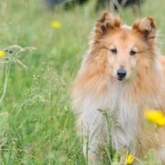 shetland-sheepdog201.jpg