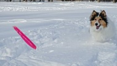 shetland-sheepdog2011.jpg