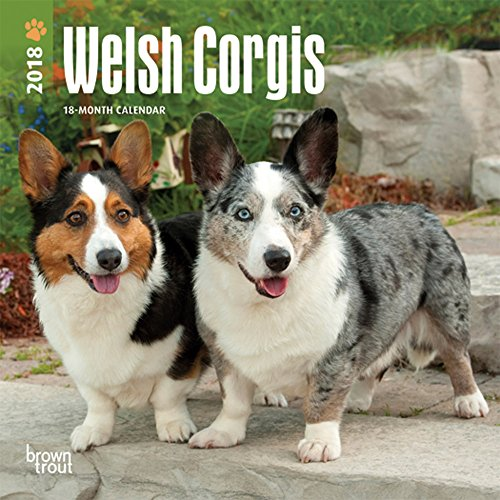 Welsh Corgi Video: Welsh Corgi Puppy Plays With Ferrets
