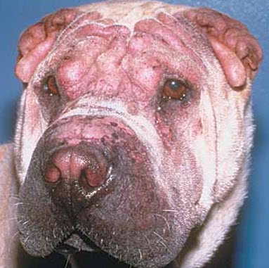 photos of dog skin rashes