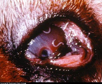 Guide To Eye Diseases in Canines