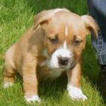 What is the price of a American stafford puppy?