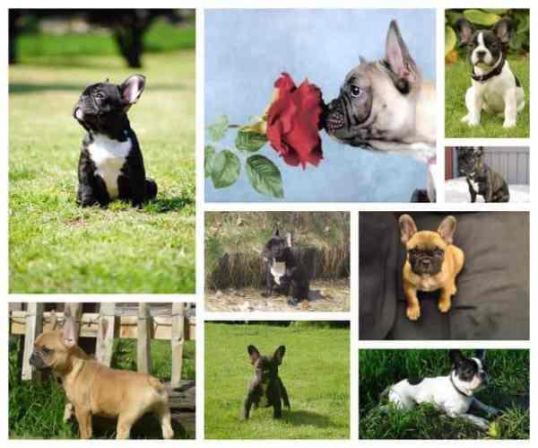 French bulldog as family-dog