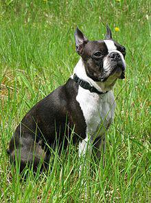 Boston Terrier male
