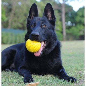 Cheery German Shepherd Mix Breed All Black German Shepherd Adoption