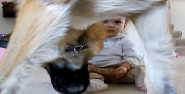 baby-steals-treat-from-huge-german-shepherd2