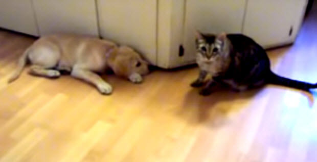 labrador-puppy-meets-cat-4