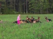 huge german shepherds