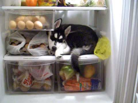This Husky Puppy Refuses To Get Out Of The Refrigerator And It Is Adorable!