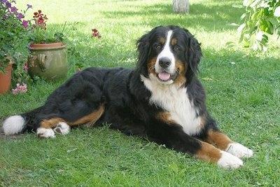 https://i1.wp.com/www.dogbreedinfo.com/images14/BerneseMountainDogKLEOPATRAHERUSPOSEIDONAS.JPG