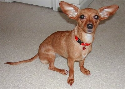 Daphnee, a 3 ½ year old Miniature Dachshund / Chihuahua mix (Chiweenie)