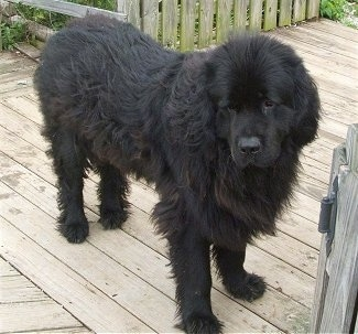 Newfoundland Dog Breed Pictures 2