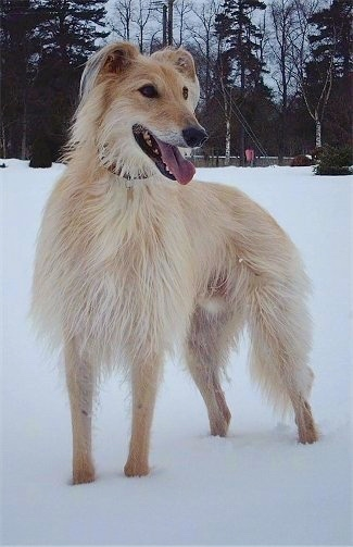 Lurcher Dog Breed Pictures 1