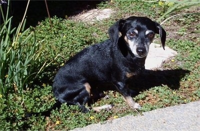 PJ, a Chiweenie at 11 years old