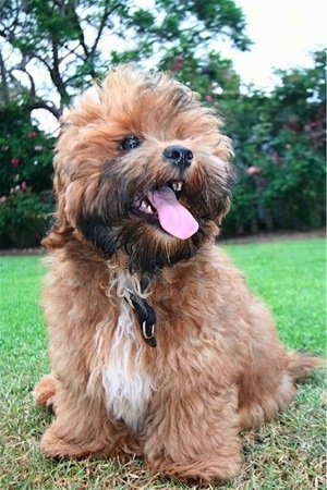 Shorkie Tzu Dog Breed Information And Pictures