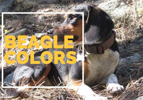 beagle-colors