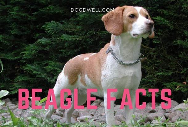 beagle-facts