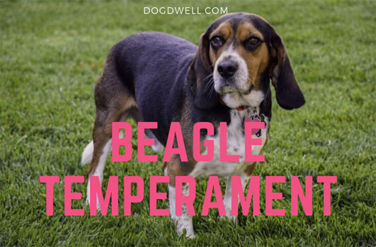 beagle temperament