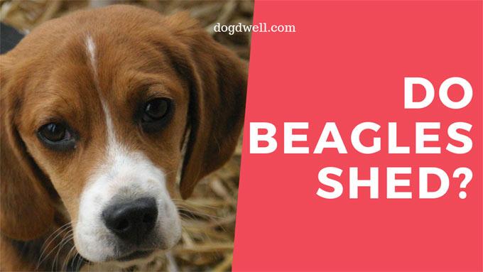 do-beagles-shed