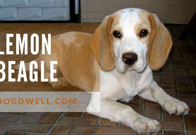 lemon-beagle