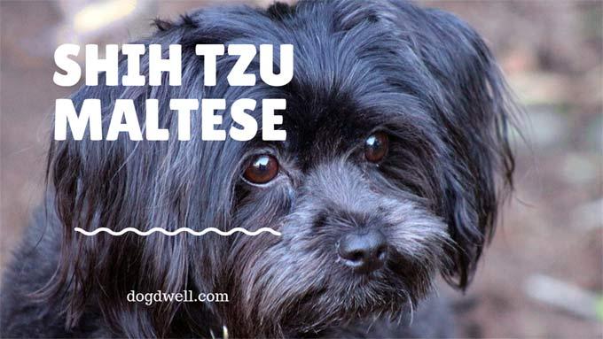 Shih Tzu Maltese