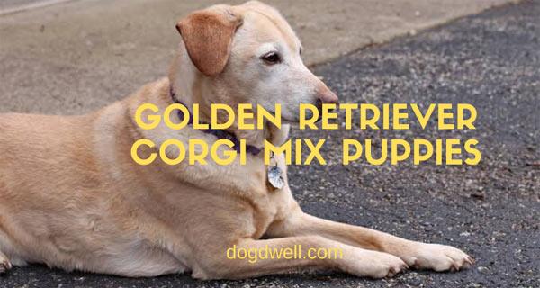 golden retriever corgi mix