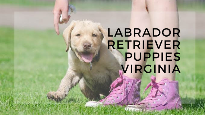 labrador retriever puppies virginia