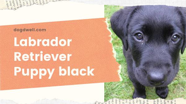 Labrador retriever puppy black