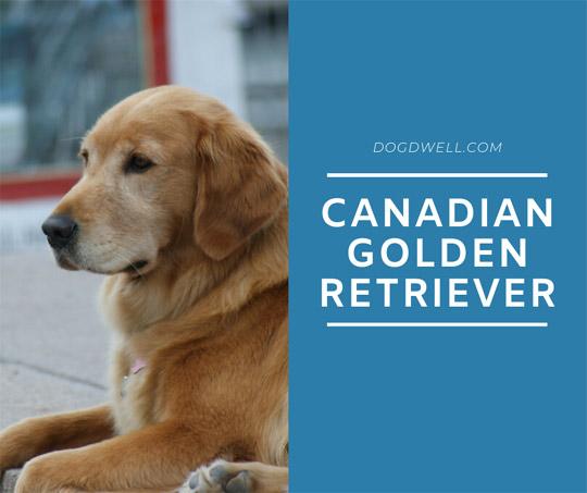 canadian golden retriever