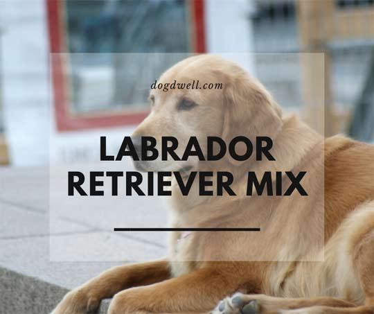 labrador retriever mix