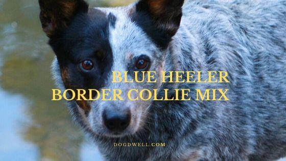 Blue Heeler Border Collie Mix