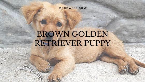brown golden retriever puppy
