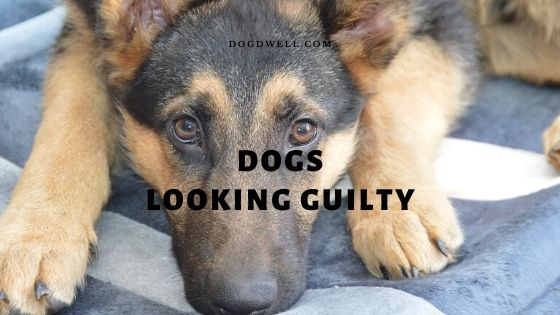dogs looking guilty