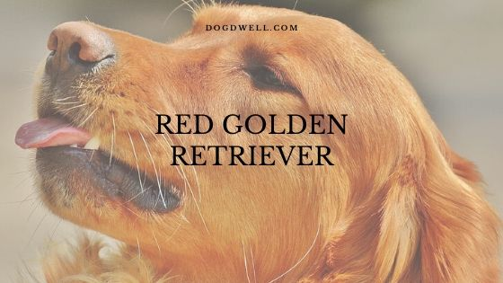 red golden retriever