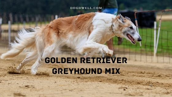 golden retriever greyhound mix
