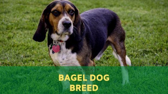 bagel dog breed