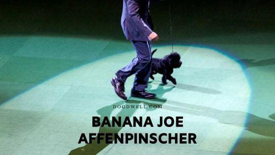 Banana Joe Affenpinscher