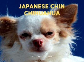 japanese chin chihuahua