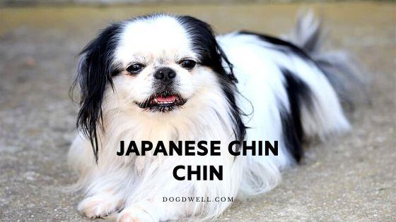 japanese chin chin