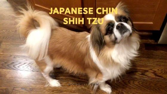 japanese chin shih tzu