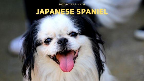 japanese spaniel
