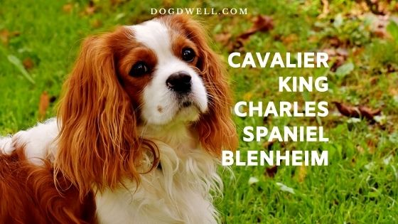 cavalier king charles spaniel blenheim
